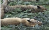605 - STOP aux dérives de la chasse ! Dégradation génétique des espèces sauvages, botulisme, germes pathogènes, les menaces pèsent lourd.